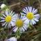 Mezei virág2