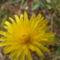 Mezei virág esőben