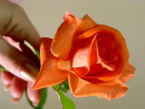 rózsát nyújtó kéz