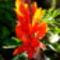 Kannavirág