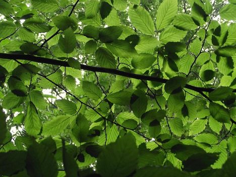 napsütötte zöldleveles faágak