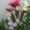 Rózsaszín nyakék