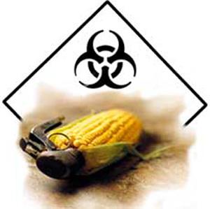 Génmódosított kukorica allergiát gyengeséget okoz az embereknek