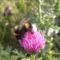 Földi poszméh (dongó) bogáncsvirágon