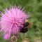Posznéh bogáncsvirágon