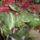 Begonia1_1210569_7564_t