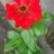 Legényvirág v zinnia