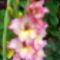 Rózsaszín kardvirág