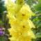 Sárga kardvirág