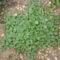 Augusztusi növekedésben a dichondra.