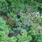 Előkert:  paprikavirág, estike, paradicsom, pistike. EGYVELEG