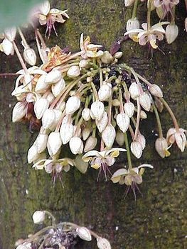 kakaófa virága