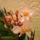 Fehérné Erika virágai