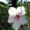 Mocsári hibiszkuszom virágja 1