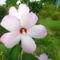 Mocsári hibiszkuszom virágja 2