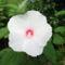 Mocsári hibiszkuszom virágja 4