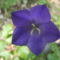 Erdei harang virág