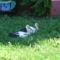 Sérült gólyák 10
