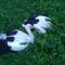 Sérült gólyák 11