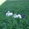 Sérült gólyák 1