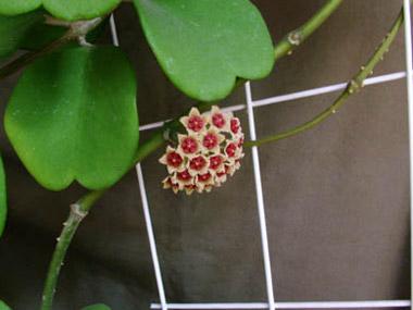 hoya kerii, lao nyelven Tim lá sáp hoa - különleges trópusi virág