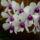 Beszedicsné Edit orchideái