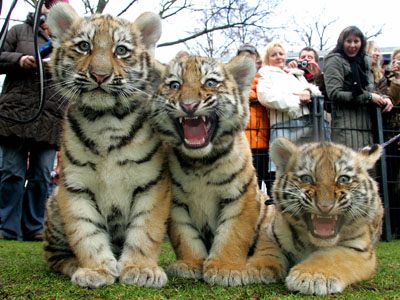 BABA 3-baby-tigers