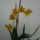joe orchideái