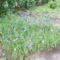 egy kis szabad természet (búzaföld virágokkal)