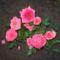 mini rózsabokor