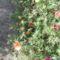 kukacvirág agy porcsi rózsa?