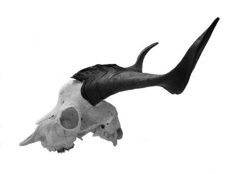 1,5 éves bakkecske koponyája alsó állkapocs nélkül