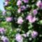 Virágzó kerítéssövény