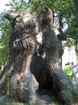 Árpád fa belseje, Hédervár