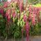 Rókafarok, Díszparéj - Amaranthus
