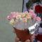 Pille cukor rózsák