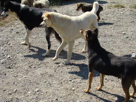 Barangolás a Csukás hegységben  10 - Kóbor kutyafalka a megálló helyen .