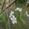 Virágzik a meggyfa,szeptember végén!