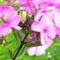 Aranyos rózsabogár