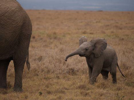 Elefánt baby