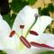 Fehér liliomszál...