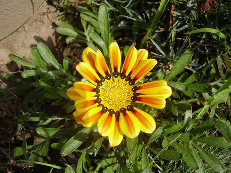 Gazánia, Zápor virág