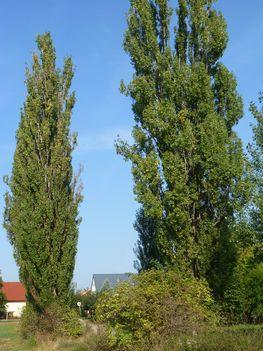 Máriakálnok, a térségünk jellegzete fái, a jegenyefák a falu keleti határán, 2011. szeptember 25.-én