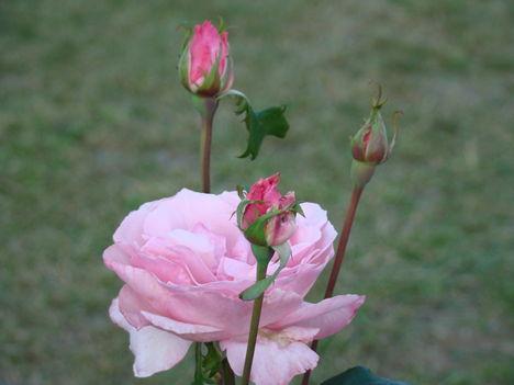 Őszi  rózsa  !