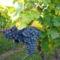 Séta a szőlősben