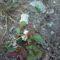 Virágzik és érik az erdei szamóca