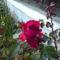 Virágzó futórózsám