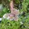 Kőrózsám virága felülről nézve