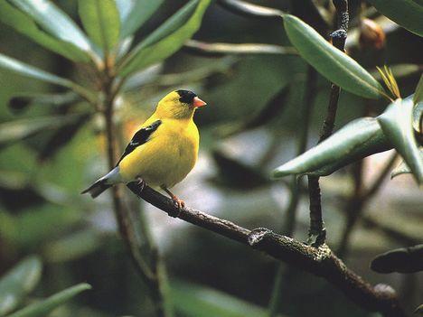 Szép sárga madár