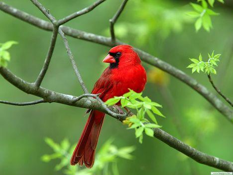 Vörös egzotikus madár